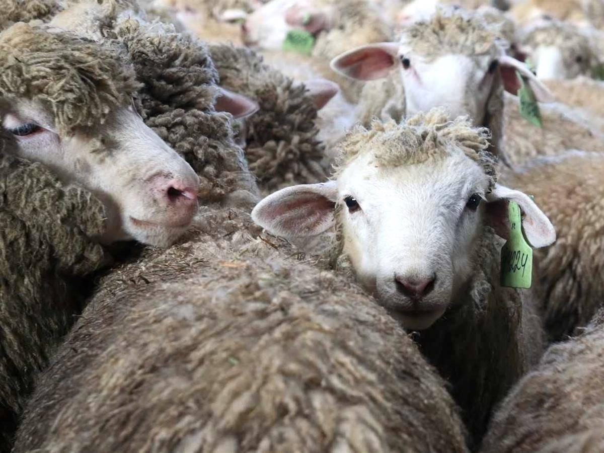 Курдючные овцы: описание и особенности разведения породы