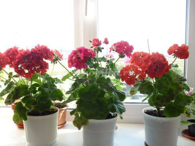 Как посадить и вырастить герань из семян?