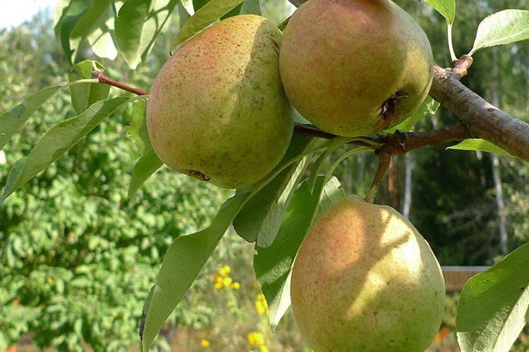 Описание 15 лучших сортов груши для сибири, посадка и уход