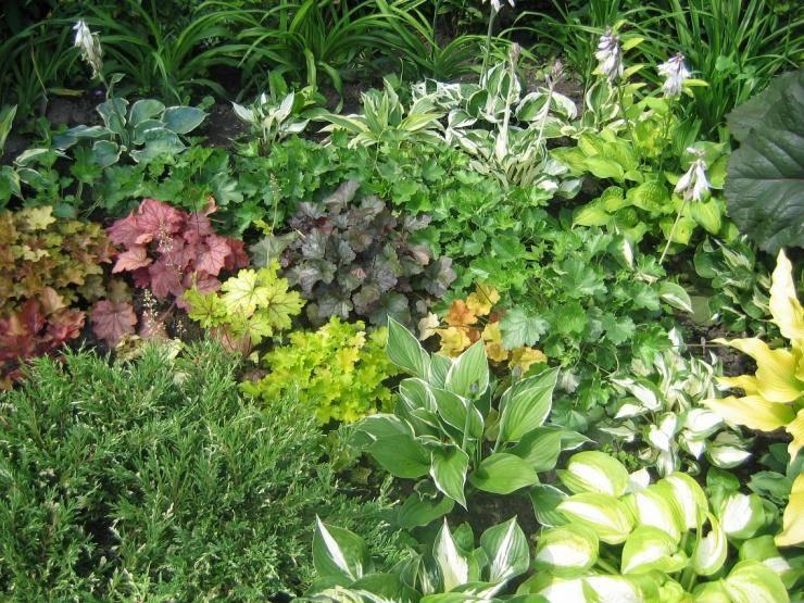 Хоста: описание и советы по выращиванию