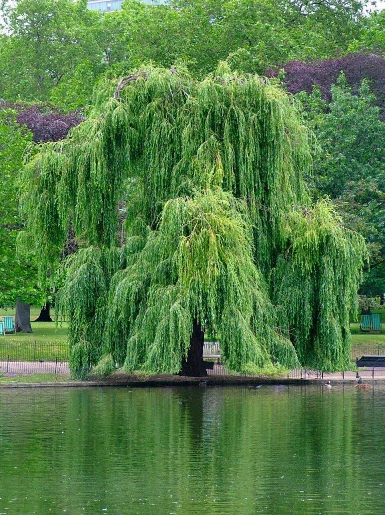 Ива ползучая: особенности, сорта, уход за растением