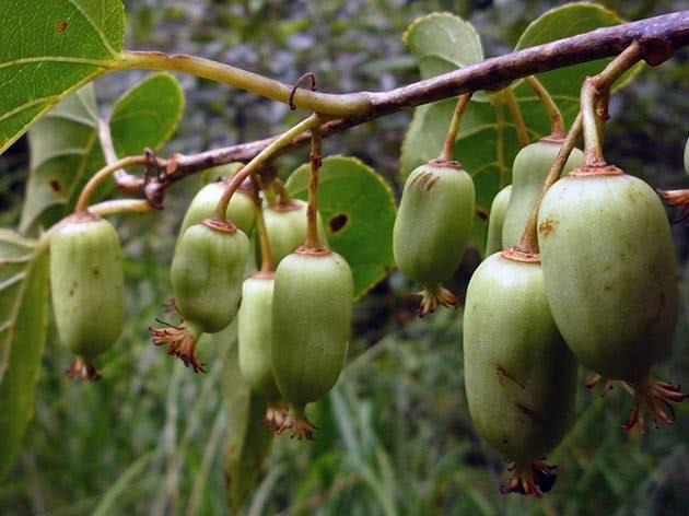 Актинидия: посадка, выращивание, уход, сбор урожая, болезни и вредители