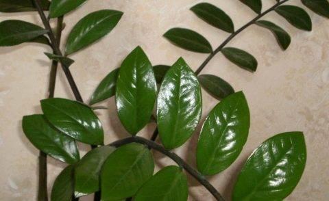 Комнатный цветок замия, уход, описание с фото