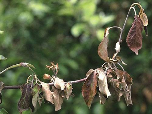 Почему скручиваются листья яблони?
