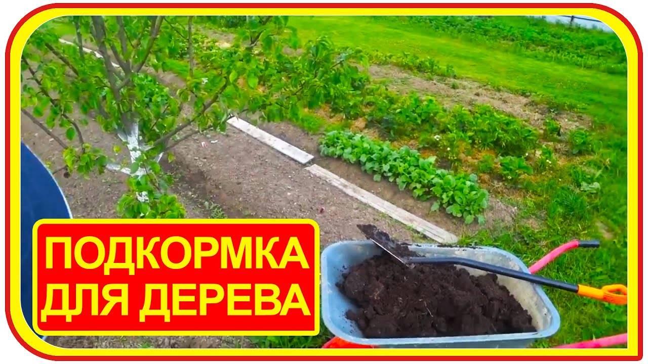 Удобряем сливы и получаем высокий урожай