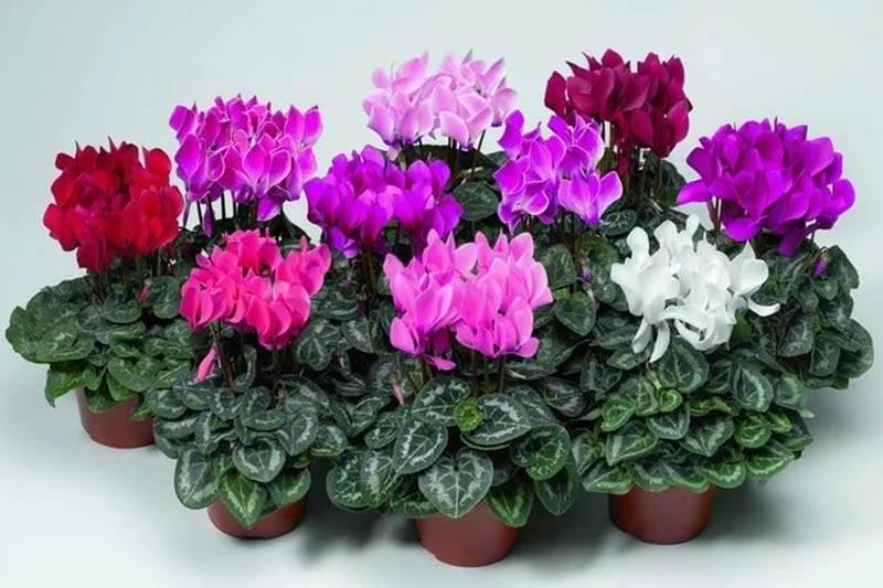 Цикламен – размножение семенами, листьями и делением клубня, уход за персидским и европейским растением в домашних условиях