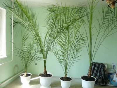 Финиковая пальма из косточки и как ее вырастить в домашних условиях