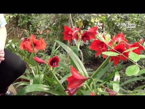 Уход в домашних условиях за гиппеаструмом после цветения