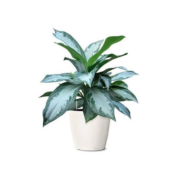 Дивный комнатный цветок «аглаонема»: фото, виды, уход в домашних условиях