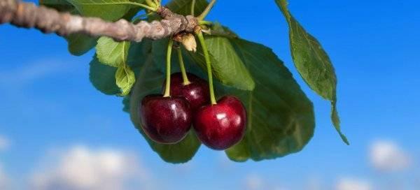 Особенности сорта и выращивания вишни шоколадница