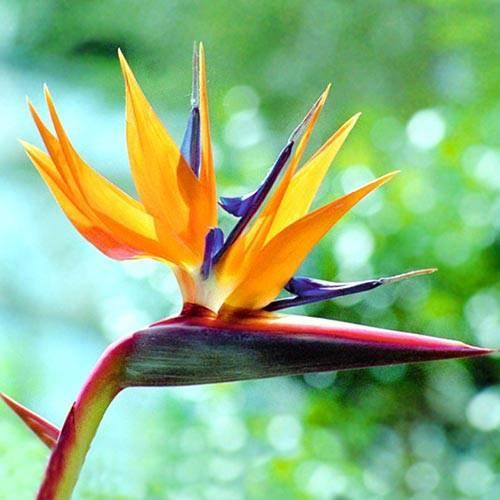 Стрелиция: описание цветения и уход в домашних условиях