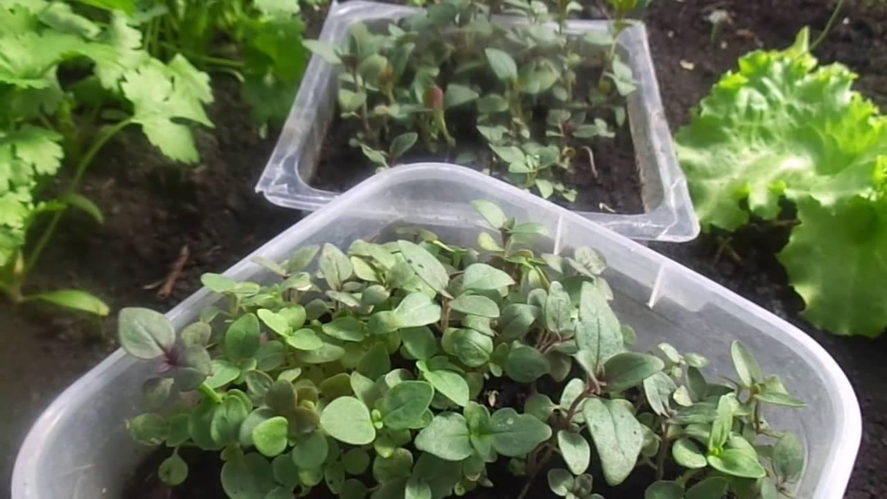 Выращивание львиного зева из семян: когда сажать и как ухаживать