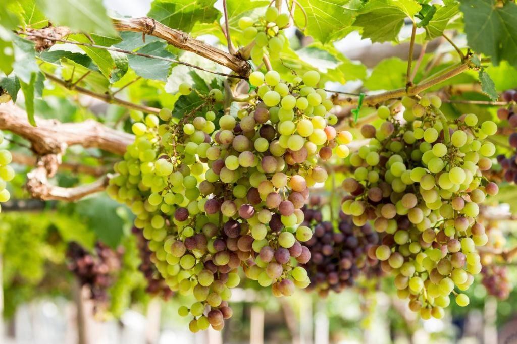 Посадка винограда своими руками и заготовка посадочного материала