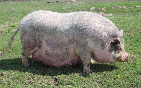Советы разведения вислобрюхих вьетнамских свиней в домашних условиях