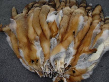 Выделка шкуры лисы в домашних условиях поэтапно