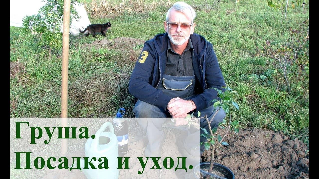 Как посадить грушу весной и осенью: сроки и правила посадки саженца