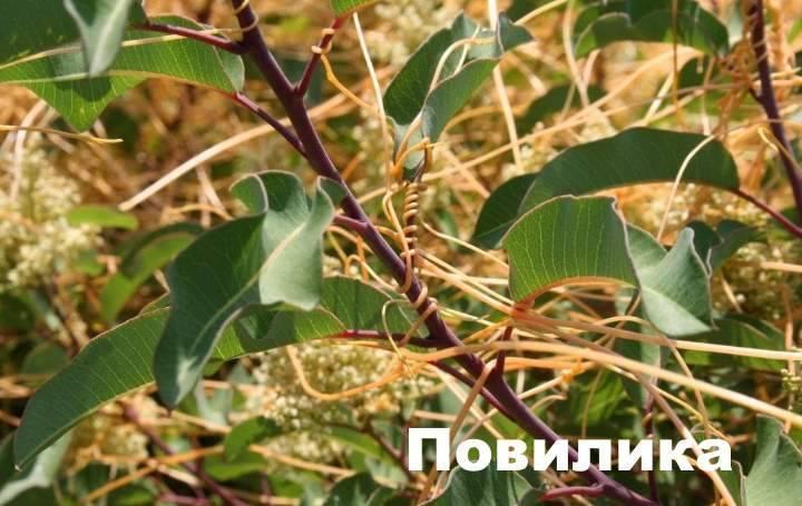 Сорняки