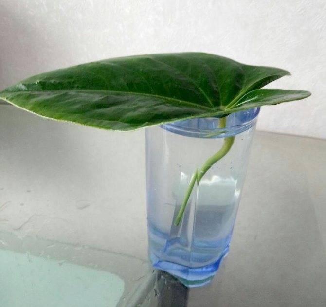 Уход за цветком антуриум в домашних условиях