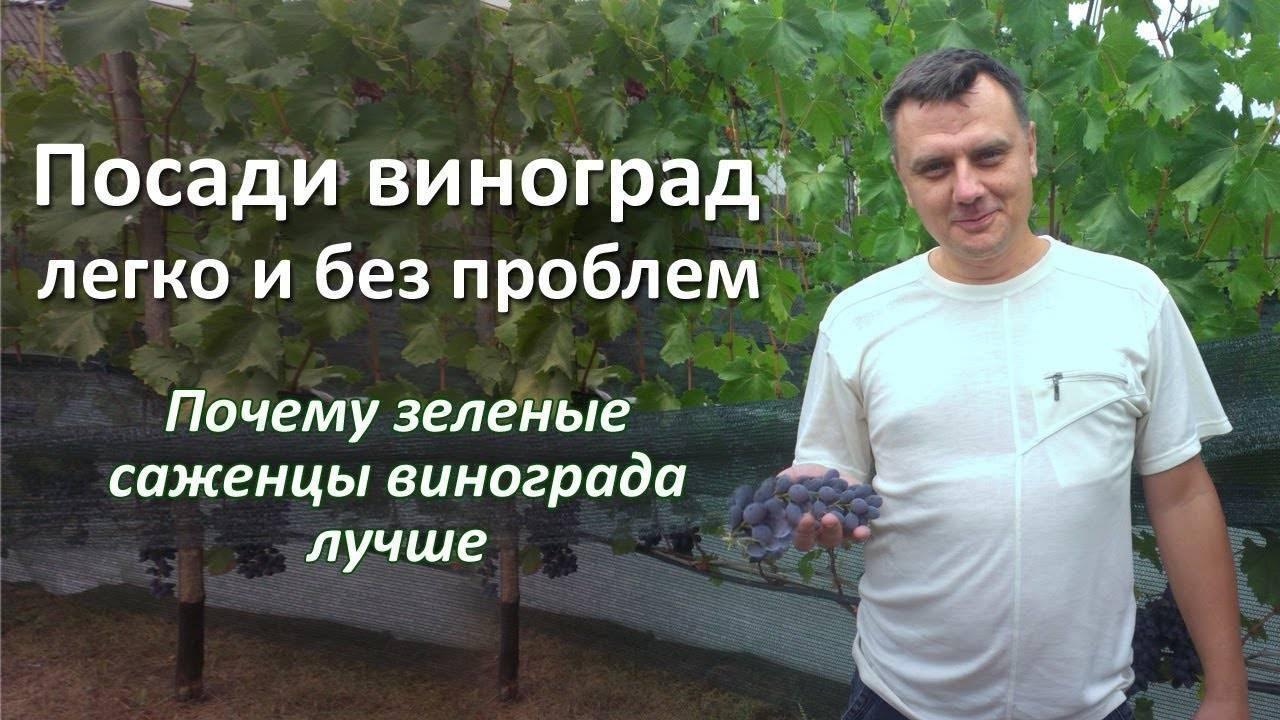 Какое расстояние между кустами винограда при посадке считать правильным?
