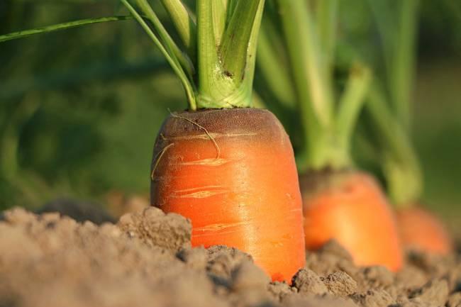 Советы по выращиванию моркови в открытом грунте и уход за растением