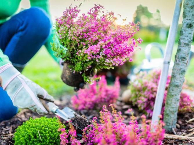 Выращивание вереска в горшке и уход за ним. символ шотландии вереск — кустарник бессмертия
