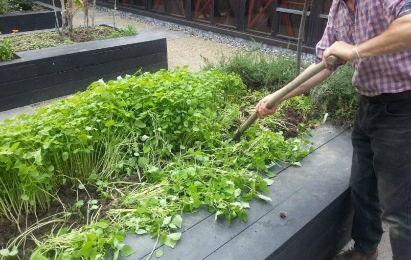 Посадка и выращивание сидератов