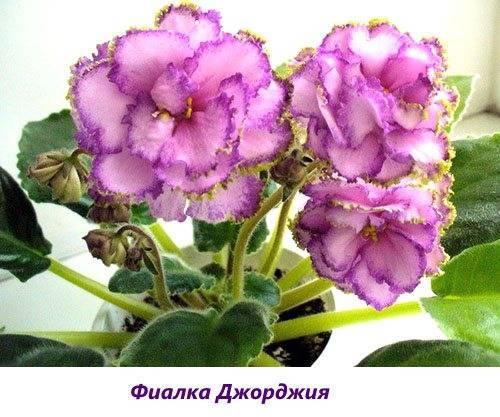 Сенполия (узамбарская фиалка): как выглядит и как выращивать