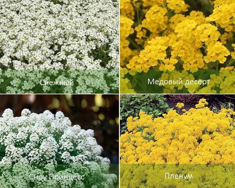 Посев семян алиссума на рассаду – сроки и особенности процедуры