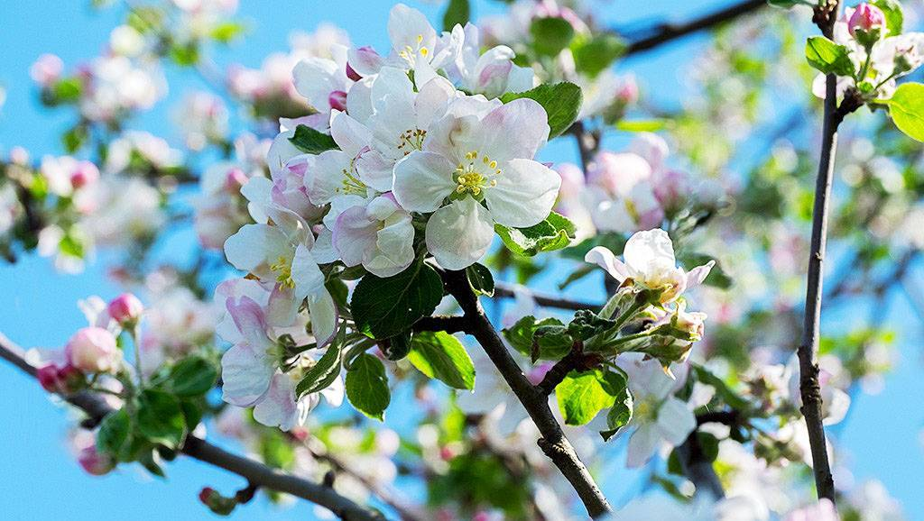 Листья и цветы яблони: полезные свойства, противопоказания и применение