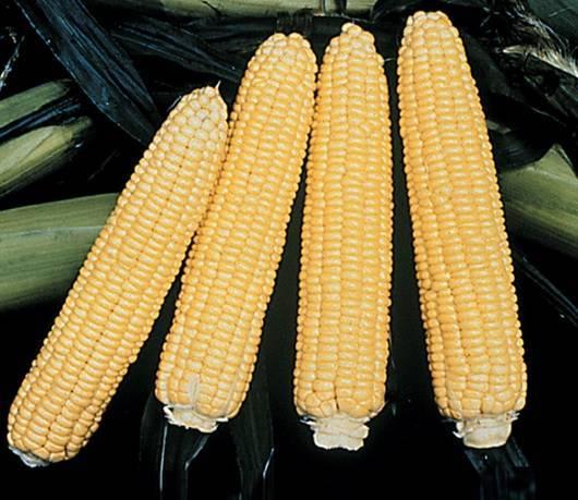 Выращиваем сахарную кукурузу через рассаду