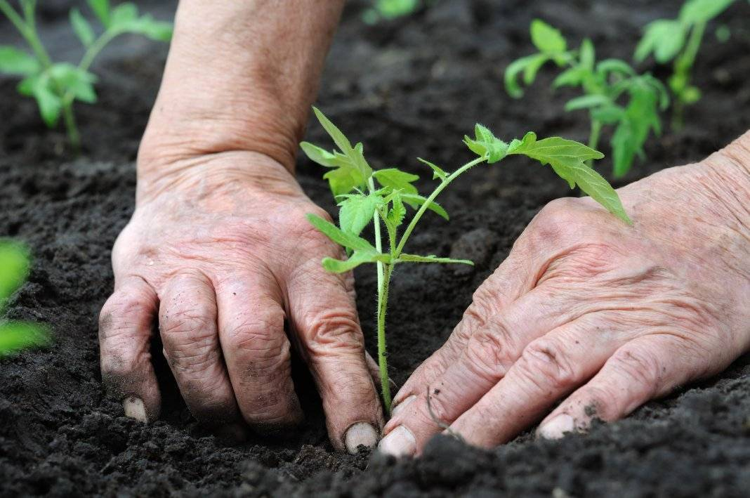 Какие томаты сеять в феврале. какую рассаду сажают в феврале: какие цветы и овощи можно сажать в феврале, каковы основные правила посадки? посев в течение всего месяца