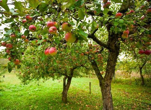 Правила размножения дерева груши черенками