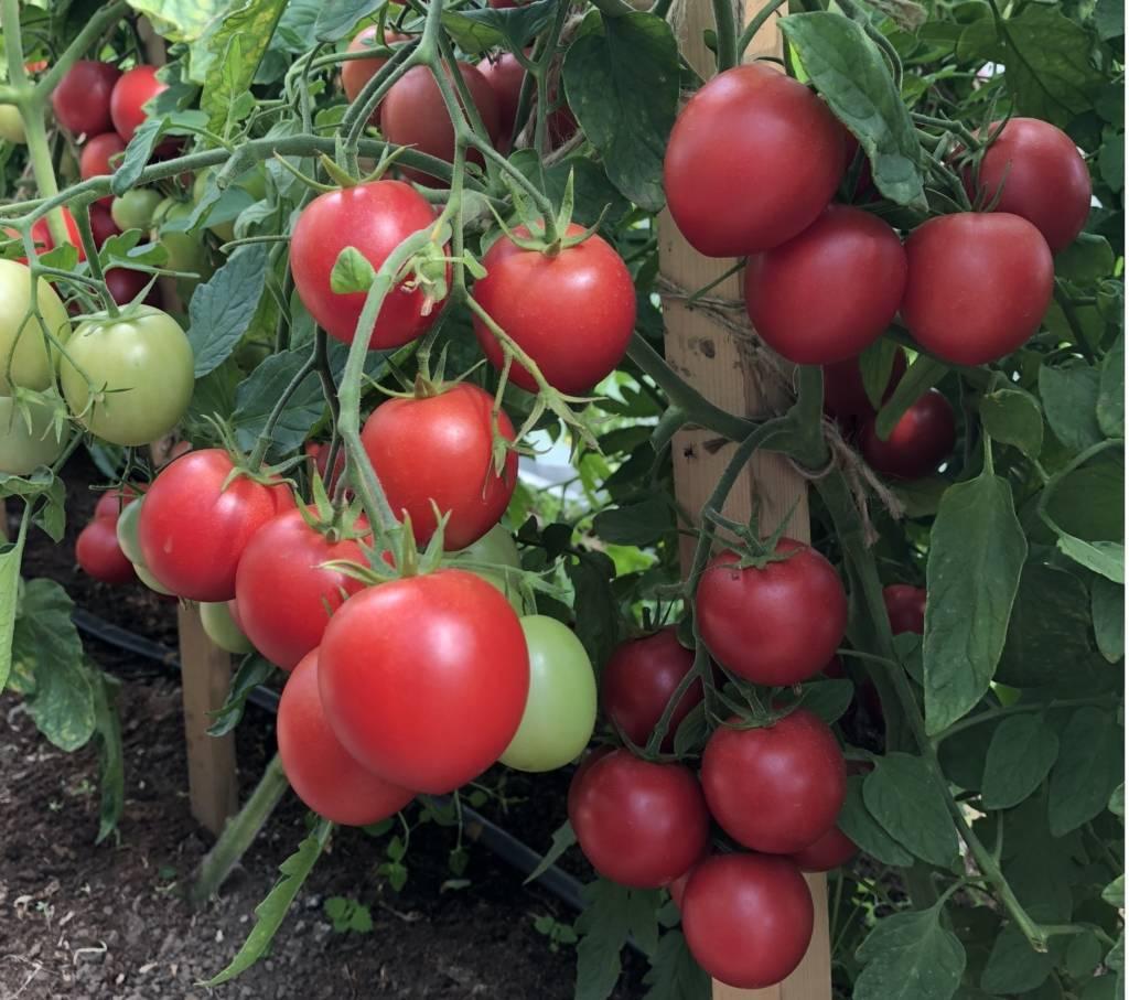 Какие сорта помидоров устойчивы к фитофторозу