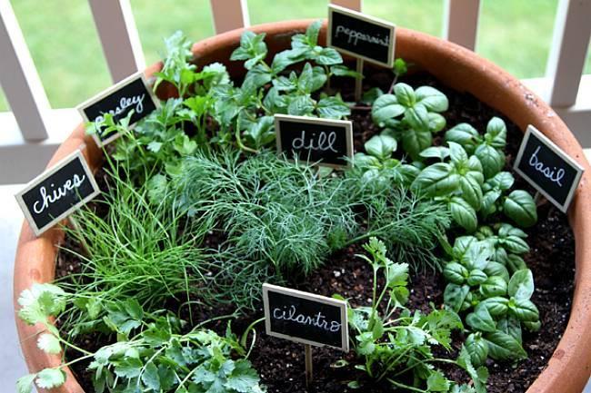 Розмарин- выращивание дома в горшке, полив, удобрение, видео