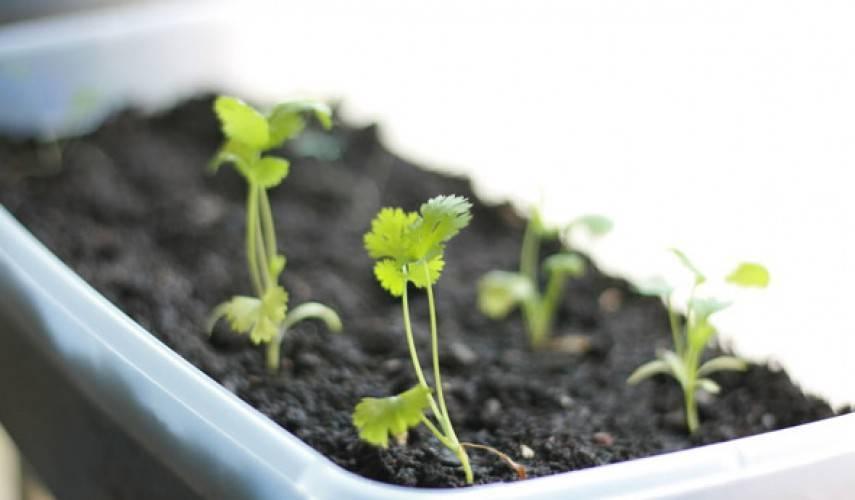 Как выращивать из семян кориандр на даче и дома