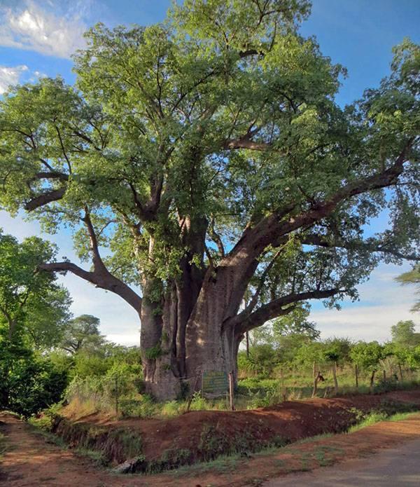Главное о лечебных свойствах сандалового дерева