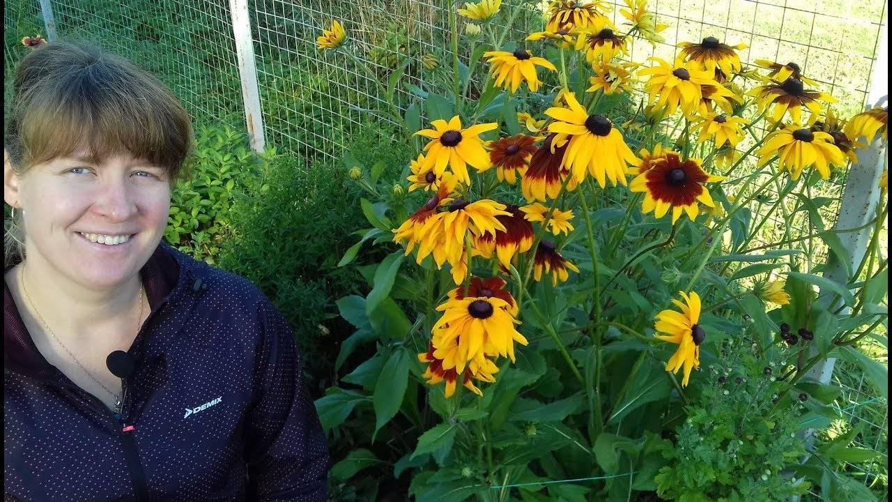 Рудбекия — многолетние и однолетние виды