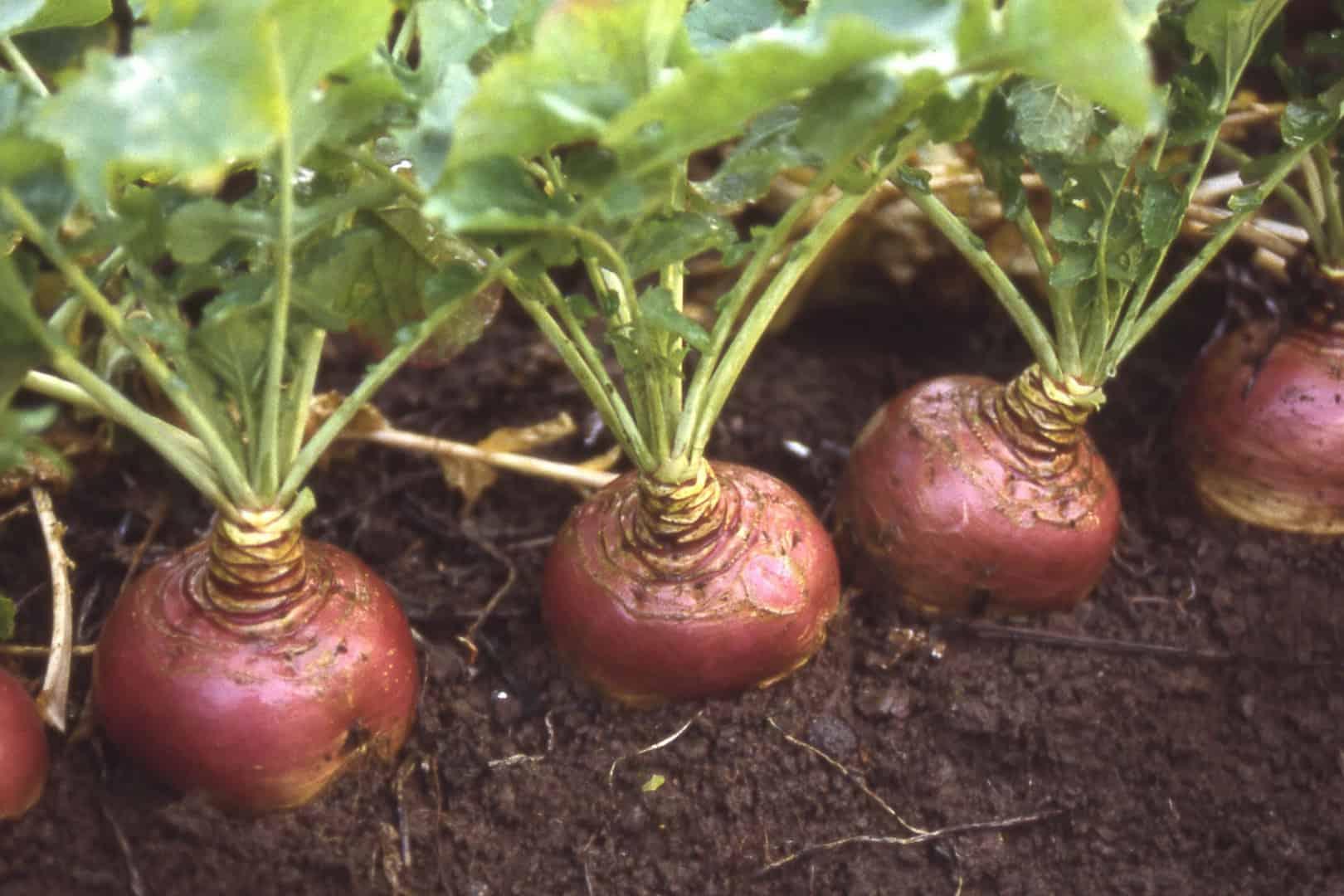 Турнепс кормовая репа — описание и выращивание