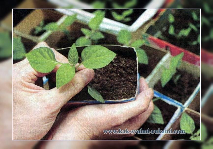 Лобелия — посадка и уход за цветами, виды лобелии