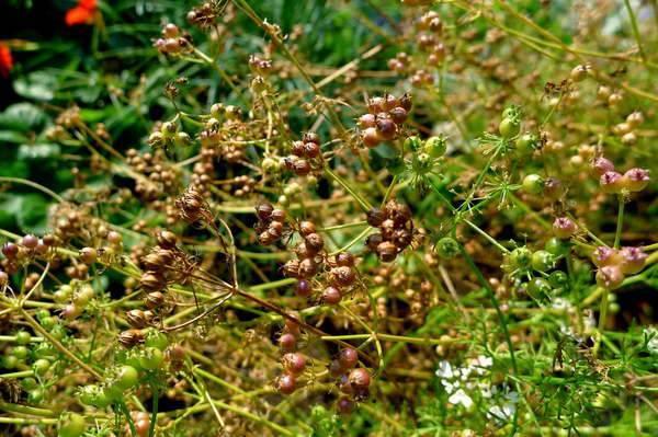 Особенности и сроки выращивания кинзы в открытом грунте под зиму