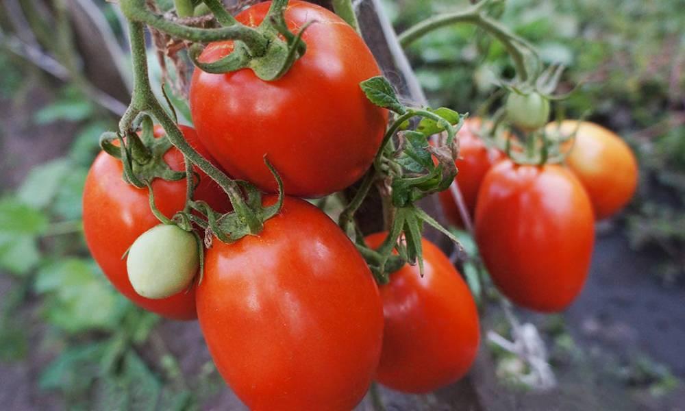Сорта помидоров для открытого грунта с фото