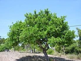 Сироп рожкового дерева: польза и вред, инструкция по применению, отзывы