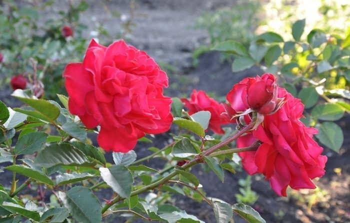 Обеспечиваем розам хороший уход после весенней посадки