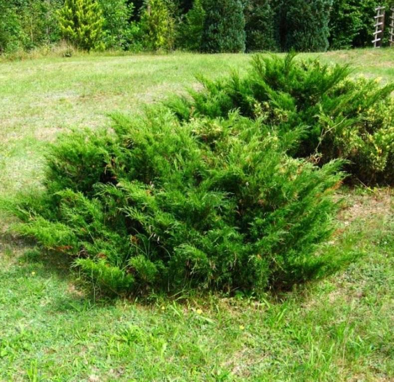 Можжевельник - хвойный аромат для всех уголков сада
