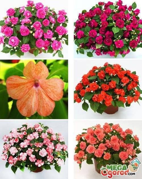 Что это за растение – вечноцвет? обзор видов бальзамина и правила выращивания