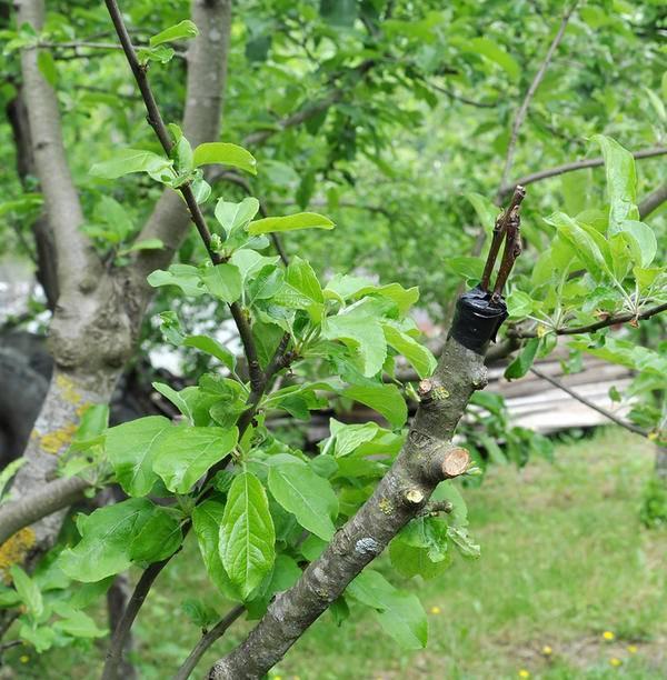 Способы и сроки прививки яблони