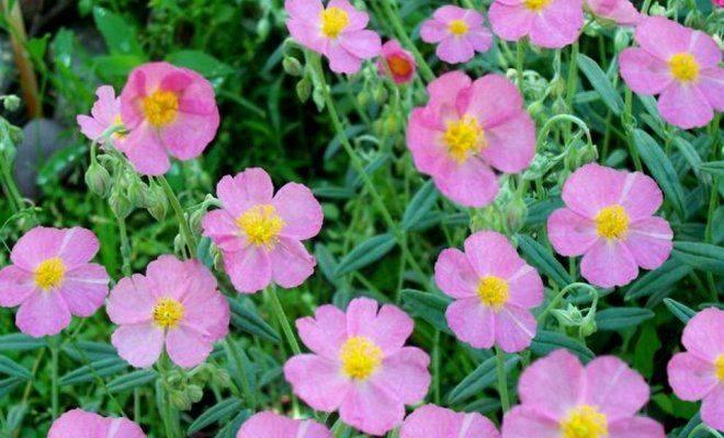 Цветник из многолетников