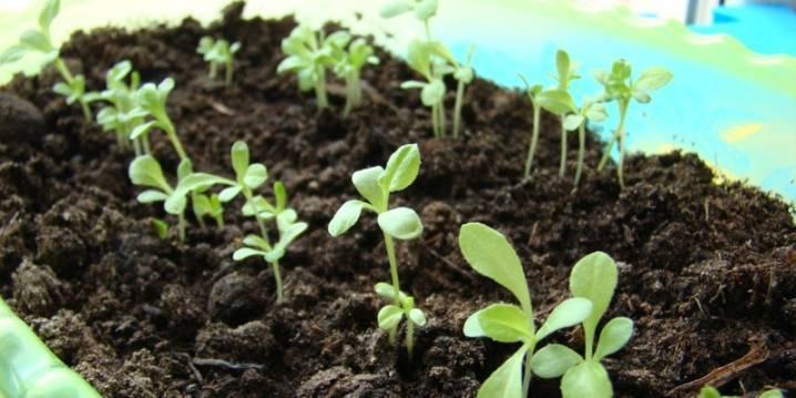 Выращиваем хризантемы в саду из семян в 2020 году