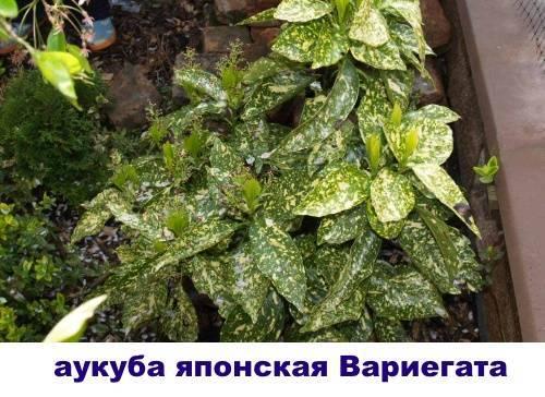Аукуба: выращивание в домашних условиях