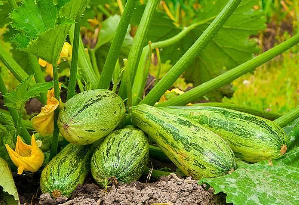 Выращиваем урожай в открытом грунте – что понравится кабачкам?